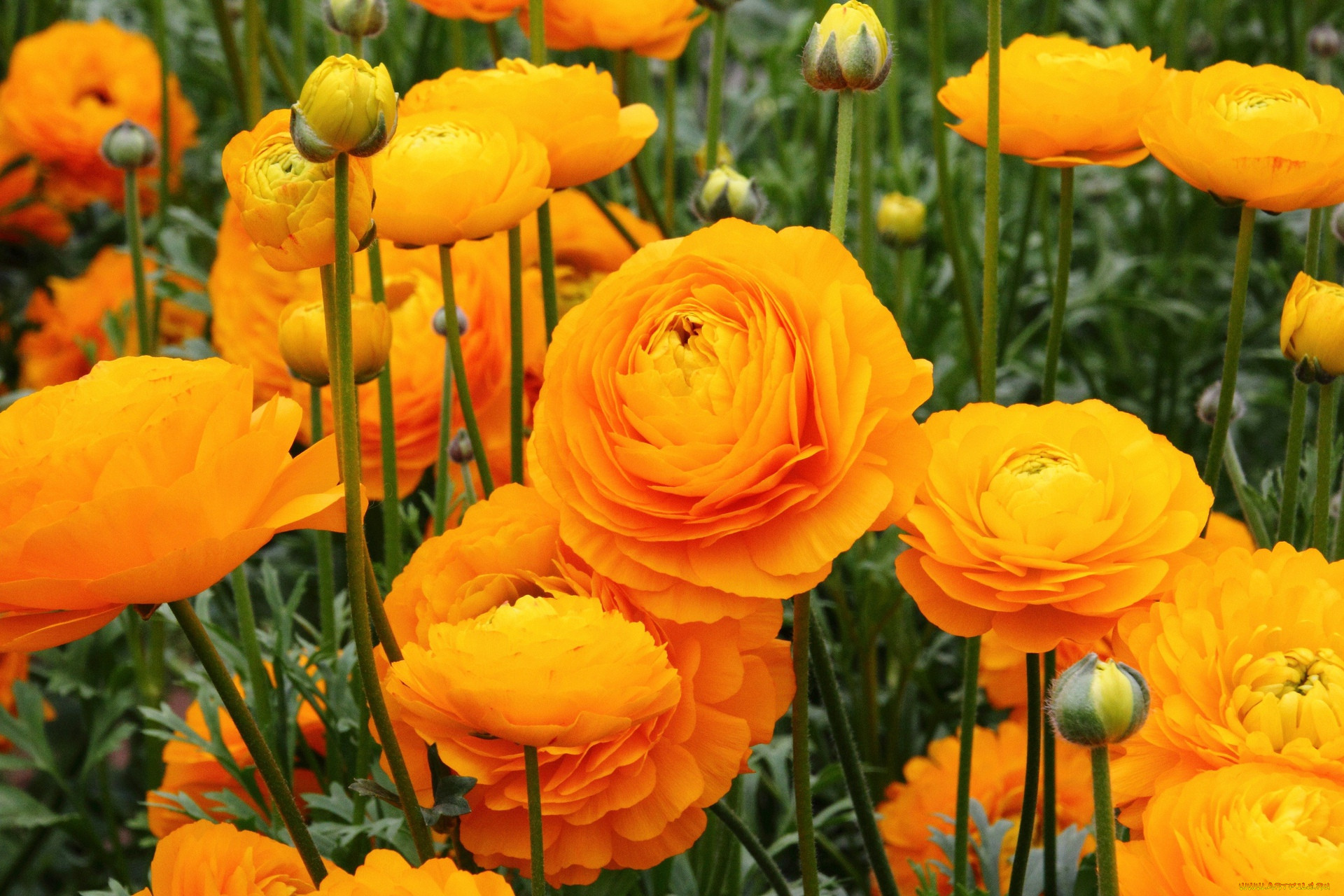 момозоно фотографии цветов лютиков контур